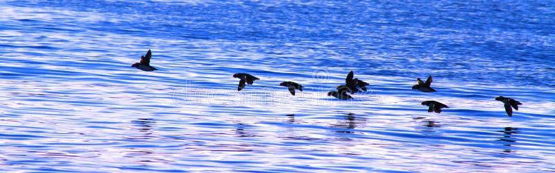 Flock of flying puffins. Iceland near Husavik royalty free stock image