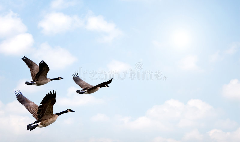 Download Flock of Geese stock photo. Image of beautiful, feather - 5354364