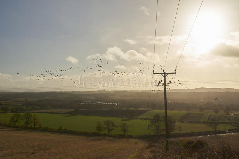 Flock of Geese. Field hopping in West Lothian Scotland. 16th November 2016 royalty free stock photo
