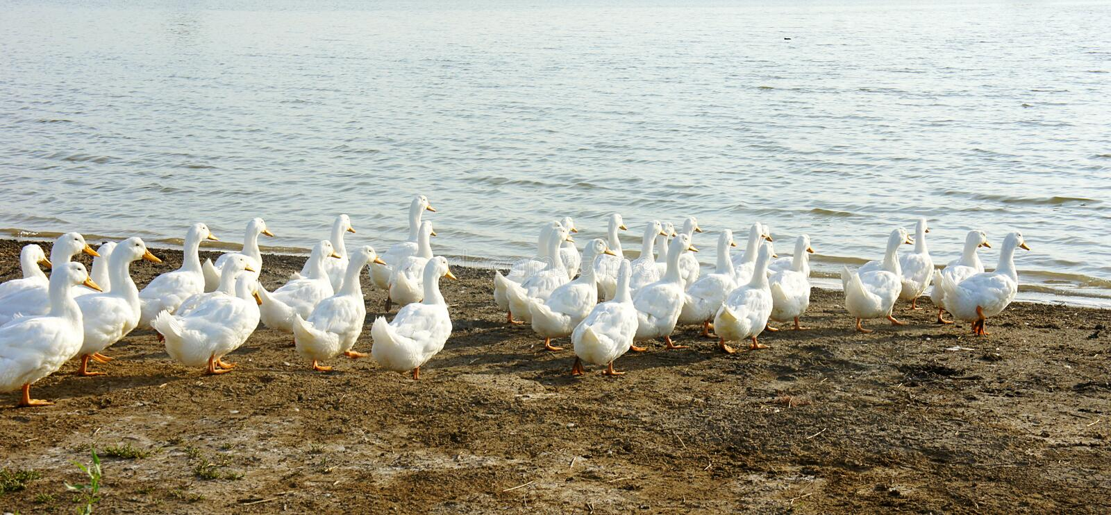 Flock of geese goes to the water. SONY DSC flock of geese goes to the water royalty free stock images