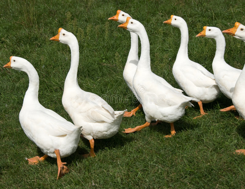 Flock of white geese stock photography