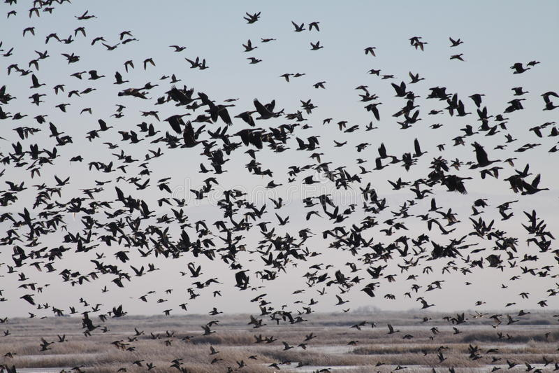 Download Flock Of Geese Over A Marsh Stock Image - Image: 29016115