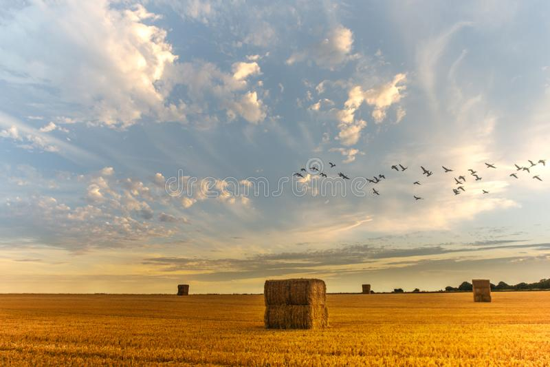 A flock of geese over a sunlit hay field stock photo