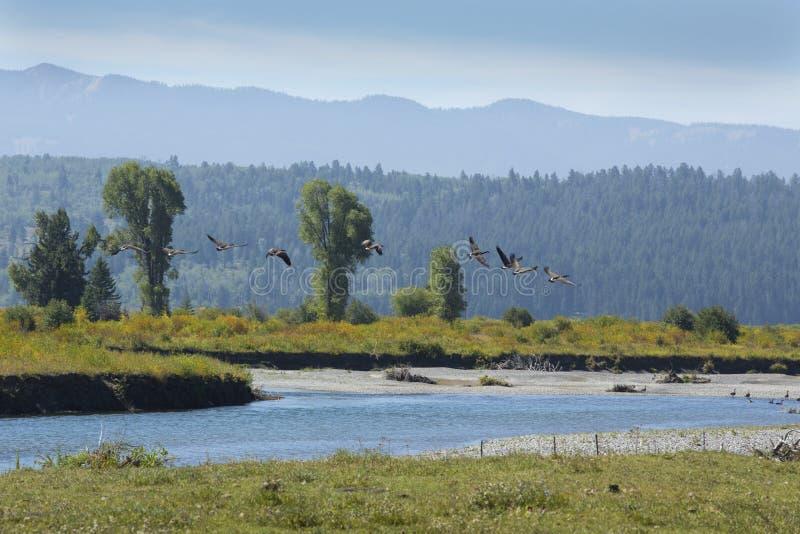 Flock of geese taking flight, Buffalo River, Jackson Hole, Wyomi royalty free stock photography