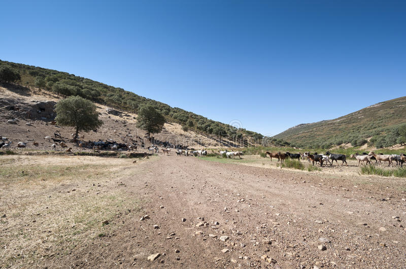 Download Flock of goats stock photo. Image of chaparral, evergreen - 27838168