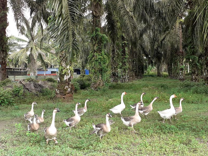 A flock of goose in kluang, johor, malaysia. A flock of goose in its barn in kluang johor malaysia royalty free stock photography