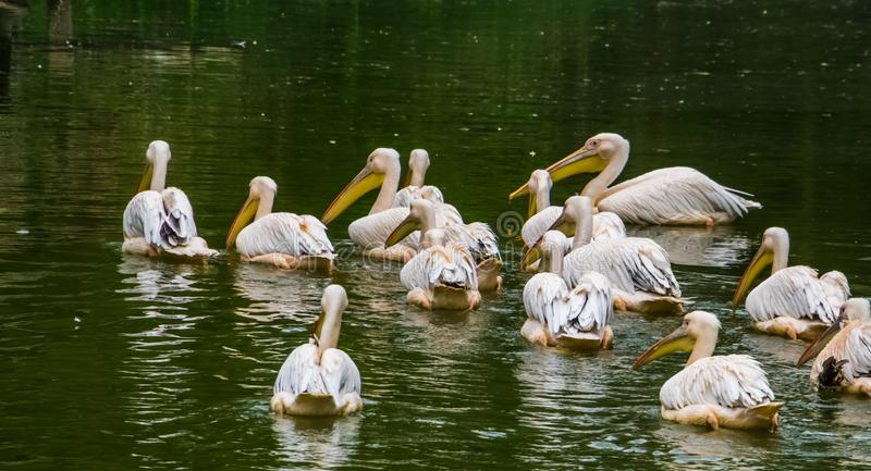 Flock of great white pelicans together in the water, common aquatic bird specie from Eurasia. A flock of great white pelicans together in the water, common stock photos