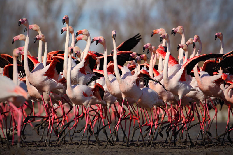 Flock of Greater Flamingo, Phoenicopterus ruber, Nice pink big bird, dancing in the water, animal in the nature habitat, Camargue stock image
