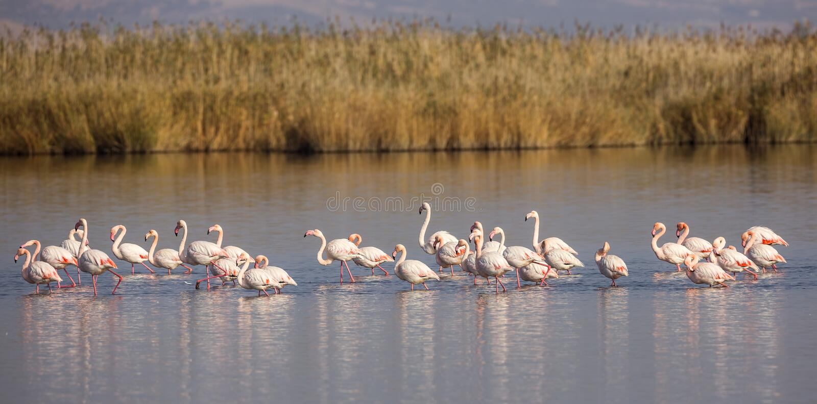 Flock of Greater Flamingos. A group of greater flamingos (Phoenicopterus roseus) are walking in shallow waters stock image