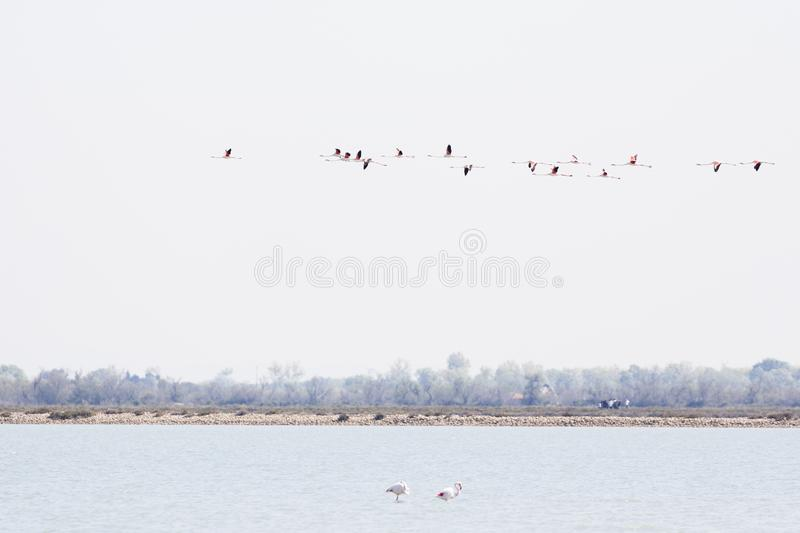 Flock of Greater flamingos, Phoenicopterus roseus, flying in Camargue, France stock photo
