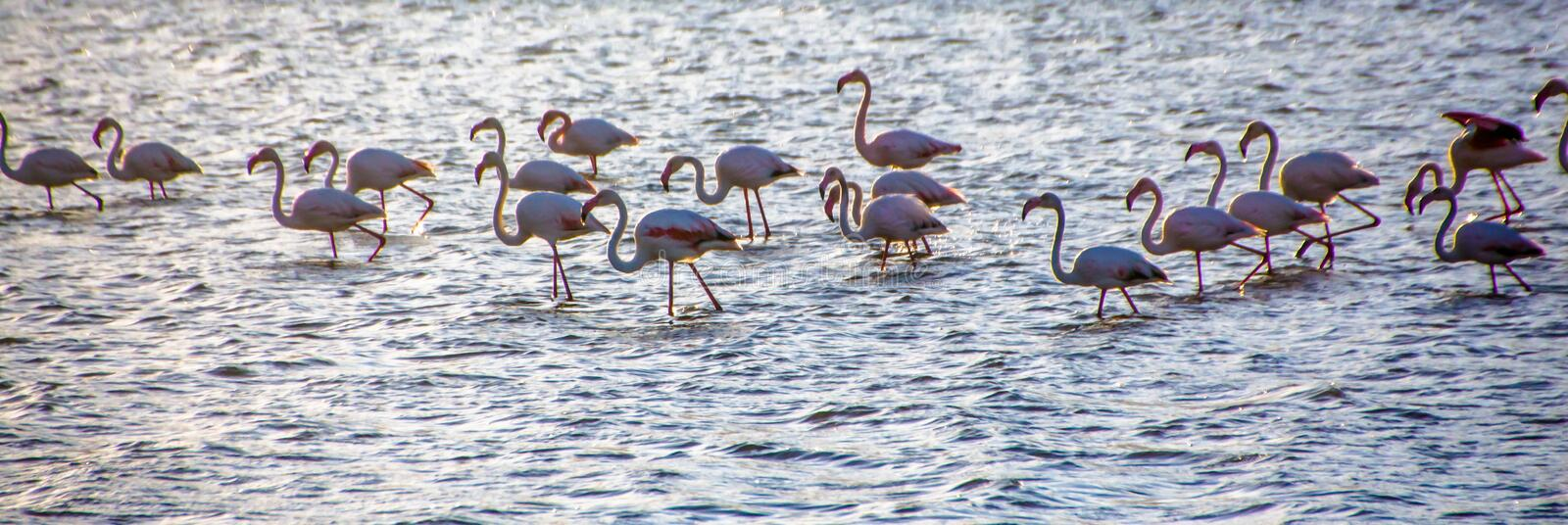A flock of Greater Flamingos Phoenicopterus roseus in the Salt ponds of Eilat, South Israel. Background, copy space stock photography