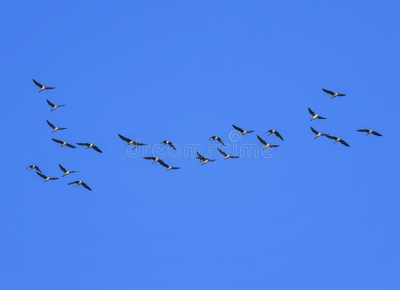 Flock of grey birds geese flying in the distance high in the blue clear sky on an autumn day in warmer climes. Flock of grey birds geese flying in the distance royalty free stock photos