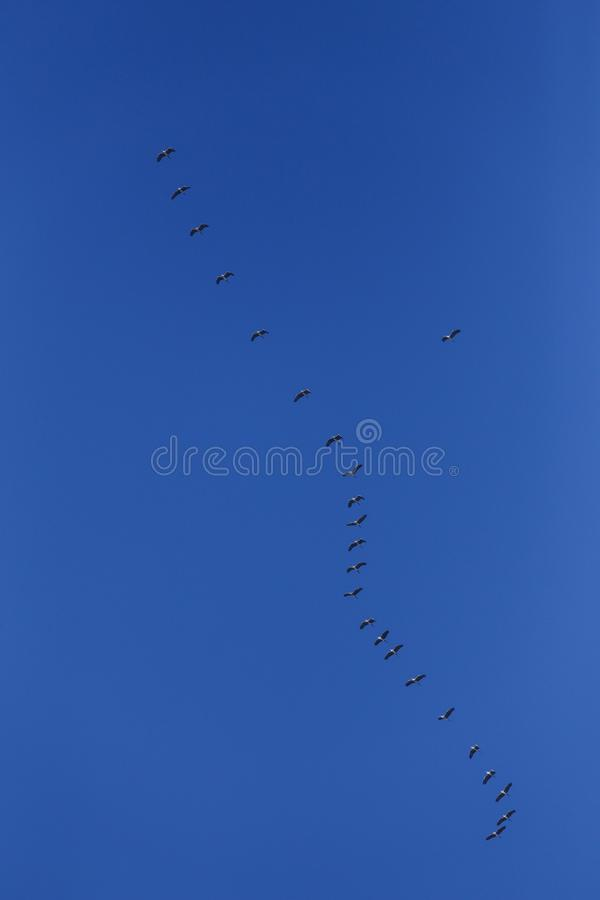 Flock of grey herons Ardea cinerea stock image