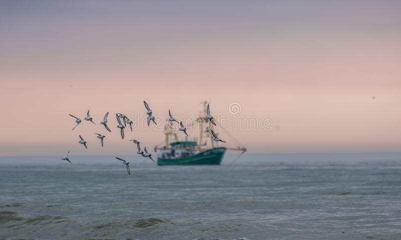 Flock/group of seagulls which are in focus flying at the sunset sky with a fishing boat in the background blurred/out of focus stock image
