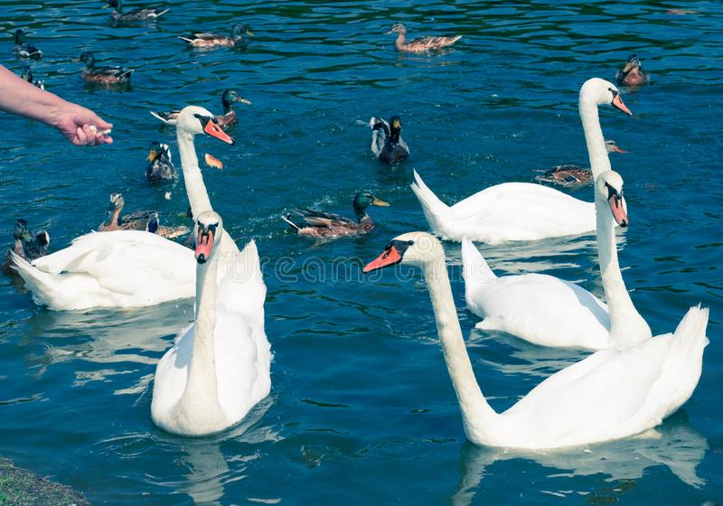 Flock group of white elegant birds swans flowing on pond water among ducks stock photo