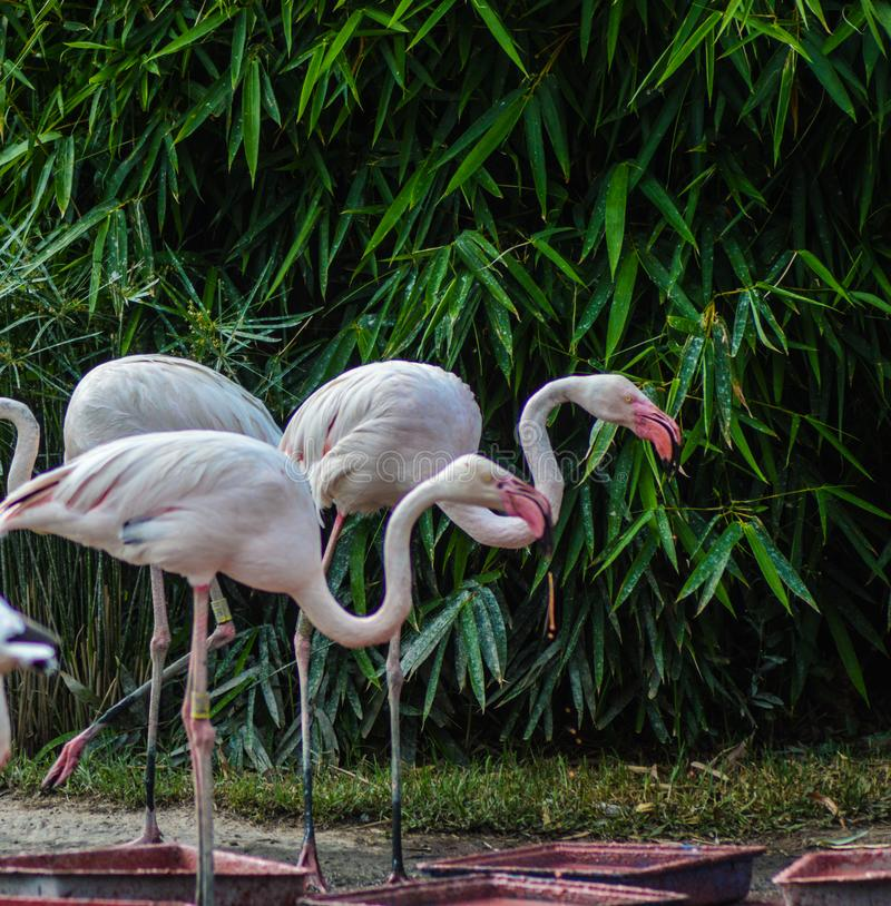 Flock and group of white and pink European Flamingo in South Afr royalty free stock images