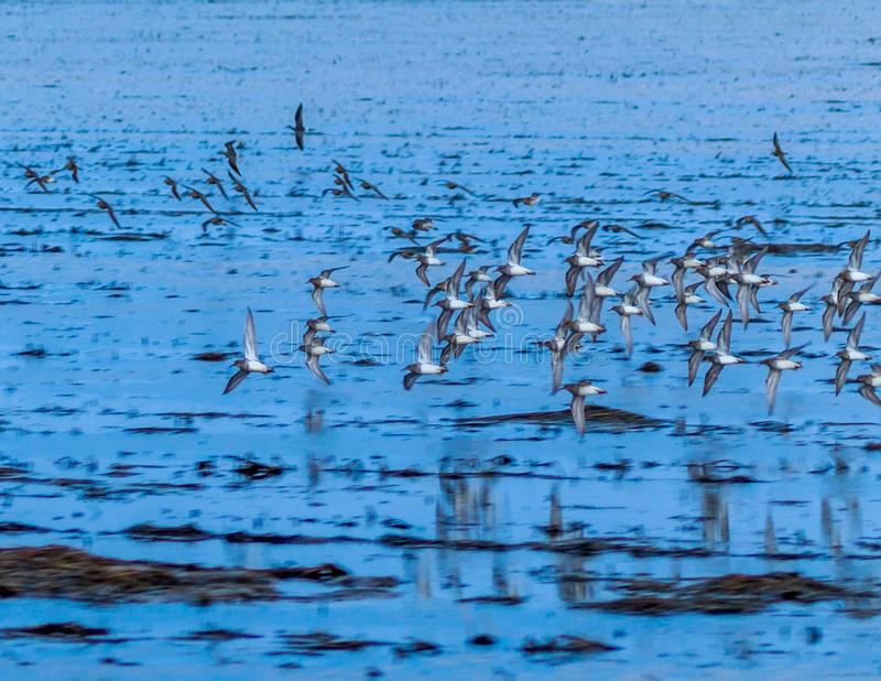 The Flock. A flock of Gulls flying along side the car as we was driving through Bald Knob Wildlife Refuge in Bald Knob, Arkansas 2017 royalty free stock photography
