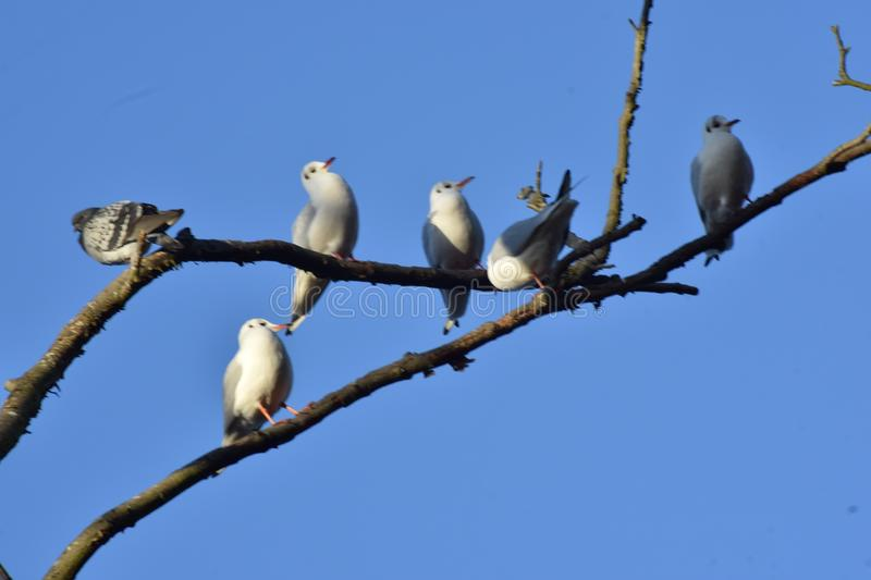 A flock of herring Gulls. A flock of gulls and a pigeon perched on tree with a pigeon stock photo