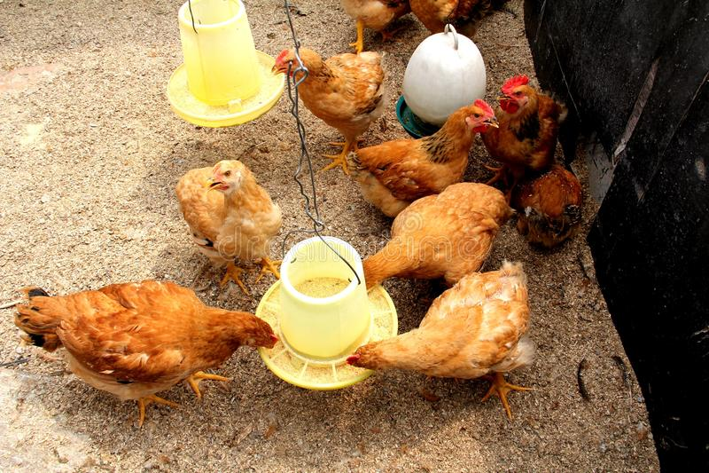 A flock of hens stock photos