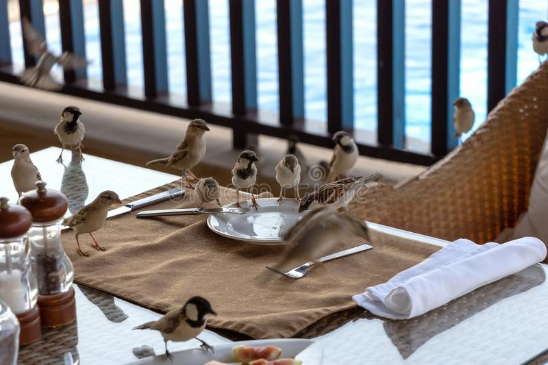 A flock of hungry sparrows eating crumbs on table and plates after dinner. Outdoor living spaces.  stock photography