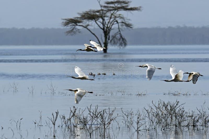 Download A flock of Ibises stock image. Image of themes, kenya - 39513959