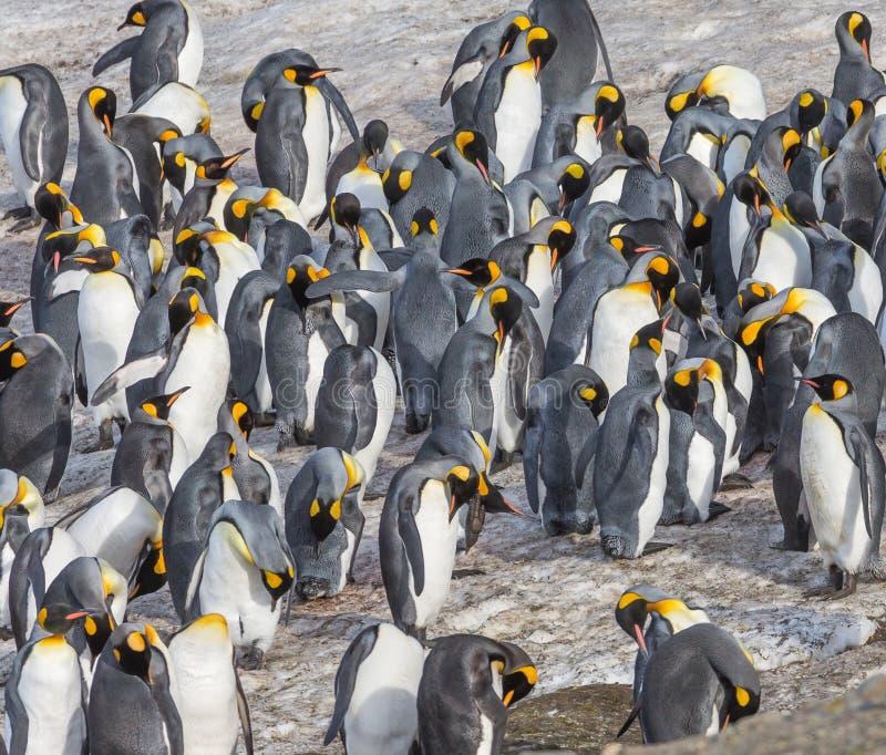 Flock of king penguins on St. Andrews Bay, South Georgia. Near Antarctica stock photo