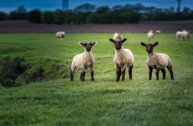 Flock of Lambs stock images