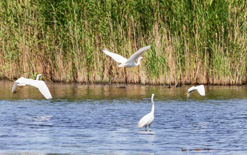 A flock of large white herons takes off from the surface of the pond stock image
