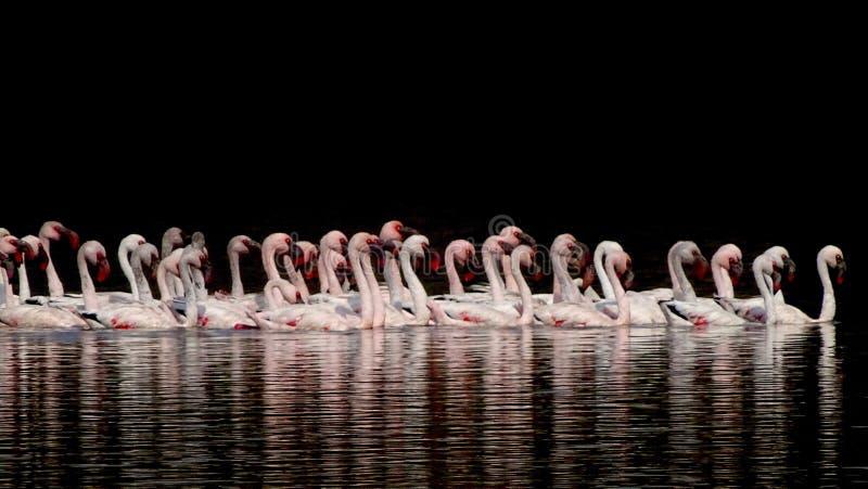 Lesser Flamingos. stock photography