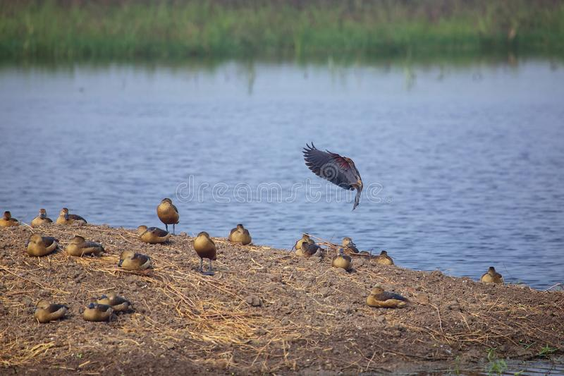 Flock of Lesser whistling ducks in Keoladeo Ghana National Park, Bharatpur, India. The park was declared a protected sanctuary in 1971 and it is also a World royalty free stock image