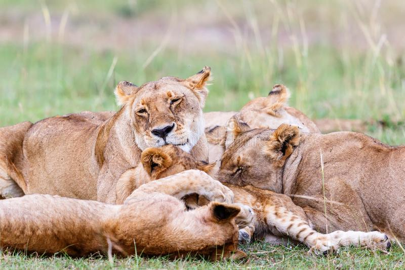 Flock of Lion lying and resting in the savannah stock images