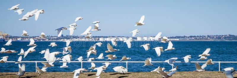 Flock of Little Corella Aloft at Botany Bay, NSW, Australia stock photo