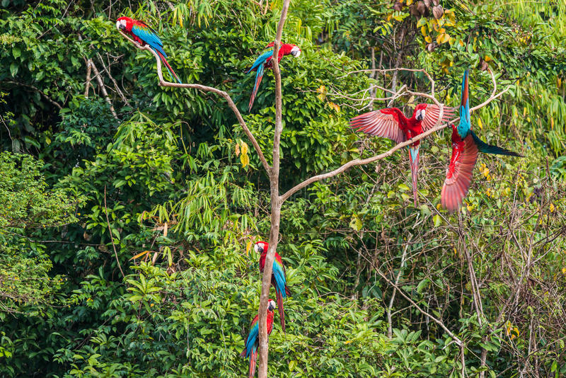 Flock of macaws standing in a three in the peruvian Amazon jungle at Madre de Dios Peru stock images