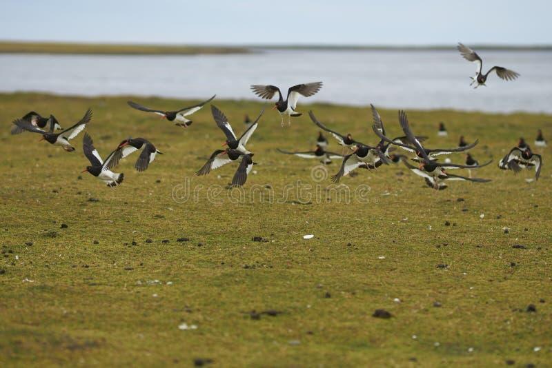 Flock of Magellanic Oystercatcher on Bleaker Island. stock photos
