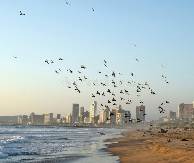 Flocking to the city. A flock of mainly domesticated pigeons converge upon a Durban beach South Africa royalty free stock images