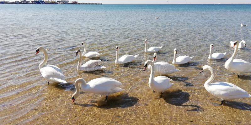 A flock of majestic white swans к sea water on a sunny day stock photography
