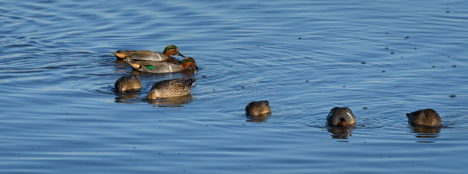 Flock of male and female Green-winged Teal ducks swimming and feeding in the sea water royalty free stock photos