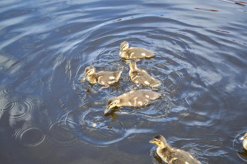 A flock of many beautiful wild water birds of ducks with chicks ducklings with beak a stock images
