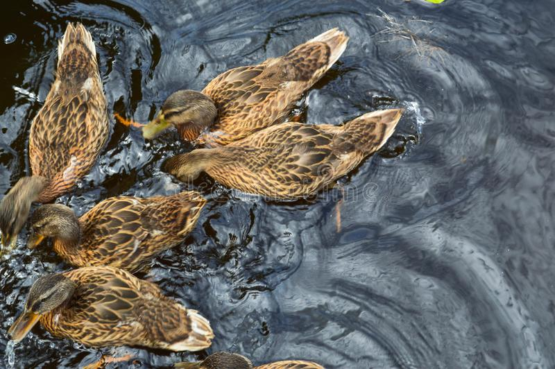 A flock of many beautiful wild water birds of ducks with chicks ducklings with beak and wings swims against the background of the stock image