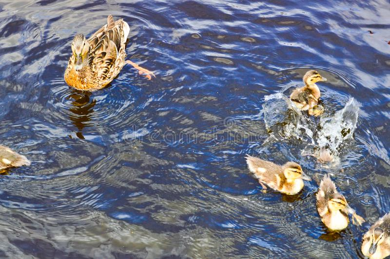 A flock of many beautiful wild water birds of ducks with chicks ducklings with beak and wings swims against the background stock image