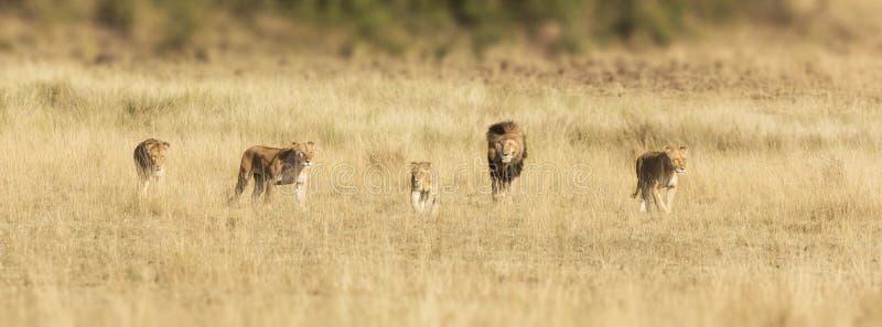 Flock med lejon i masaien Mara arkivbild
