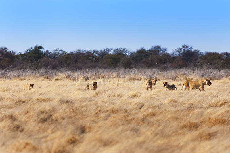 Flock med lejon i savannahen, i Namibia royaltyfria foton