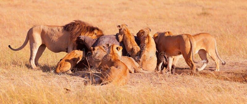 Flock med lejon som äter en be i masaien Mara arkivbilder