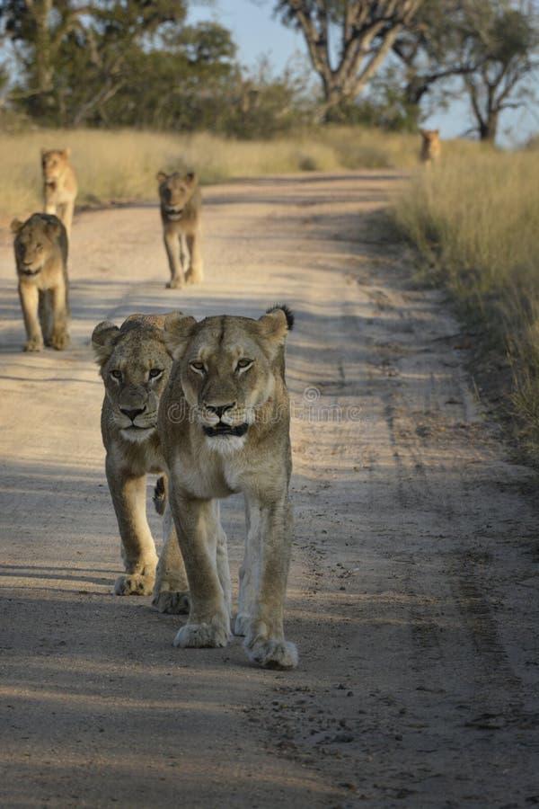 Flock med lejon som går ner en sandväg royaltyfri fotografi