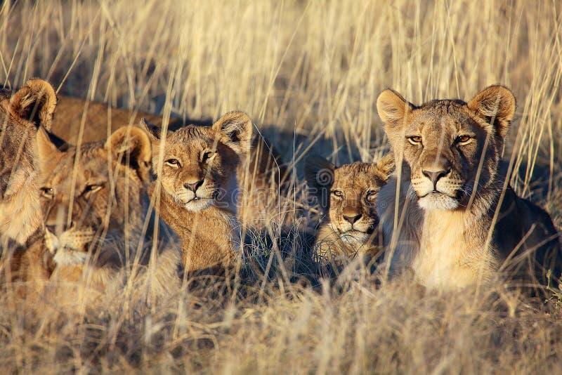 Flock med lejon som vilar på etoshanationalparken arkivbilder