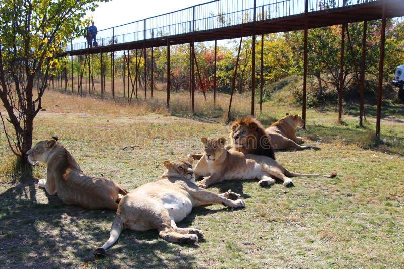 Flock med lejon vilar i safari parkerar arkivfoto