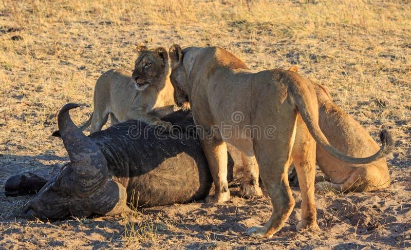 Flock med lejonanseendet över ett nytt byte, med gröngölingarna tafsar att vila på kadavret royaltyfri fotografi