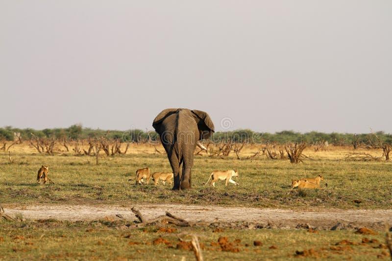 Flock med lejonbrytning med den stora tjurelefanten royaltyfria foton