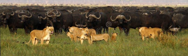 Flock med lejonjaktbuffel arkivfoton