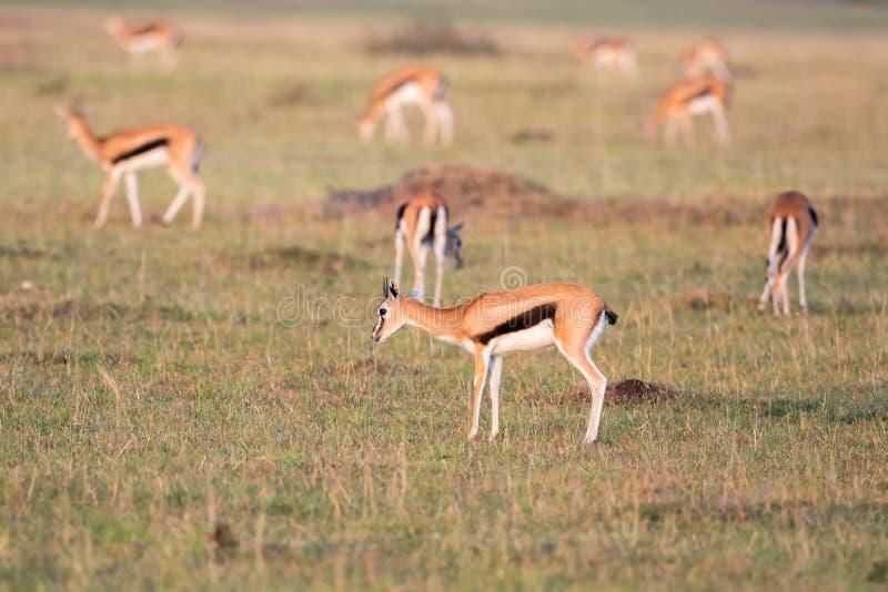 Flock med Thomson gaseller på savannahen arkivfoton